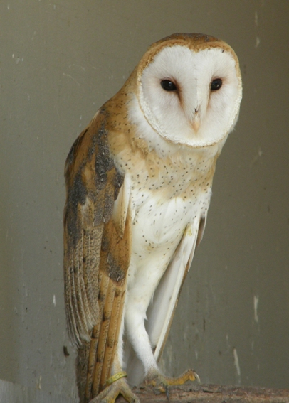 A wonky eared Barn Owl